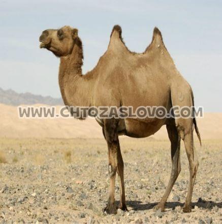 Ответ: верблюд