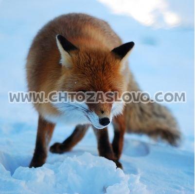 Ответ: лисица
