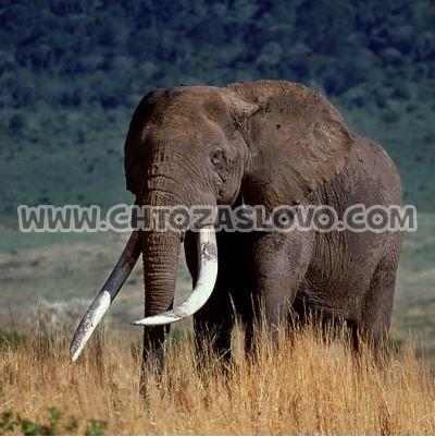Ответ: слон