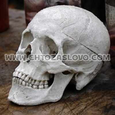 Ответ: череп