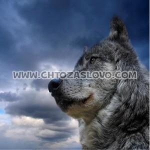 Ответ: волк
