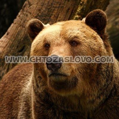 Ответ: медведь