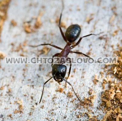 Ответ: муравей