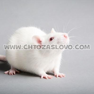 Ответ: крыса