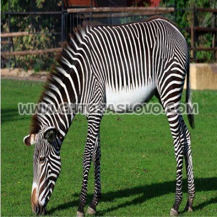 Ответ: зебра