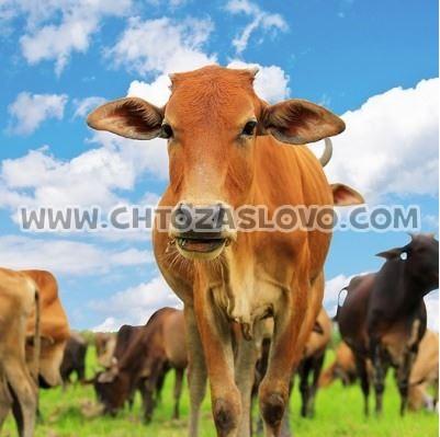 Ответ: корова