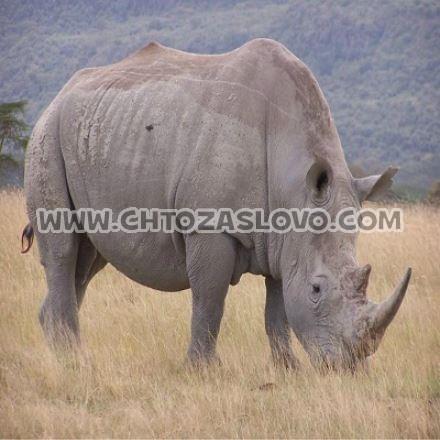 Ответ: носорог