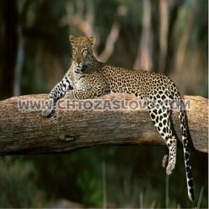 Ответ: леопард