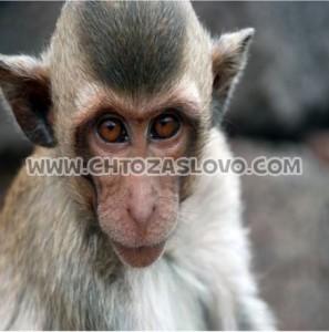 Ответ: обезьяна