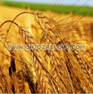 Ответ: пшеница