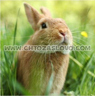 Ответ: кролик